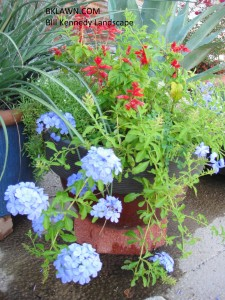 Blues and reds a pretty combination for patio pots