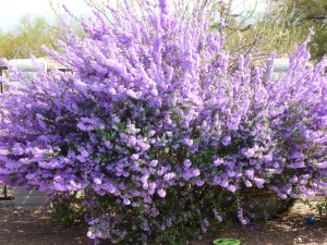 Texas sage in bloom, Texas Tough